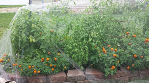 A view of the other side of the stone bed. Tomatoes and marigolds galore!