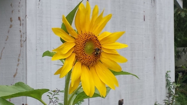 In fact, we've got one  fully open sunflower! The bees really like it. (Hopefully the birds and squirrels won't).